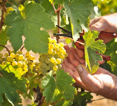 Harvesting Gruner Veltliner grapes at Hahndorf Hill