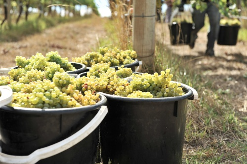 Buckets brimming with Gruner Veltliner grapes at Hahndorf Hill